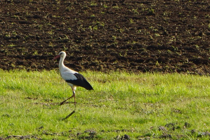 Storch_3