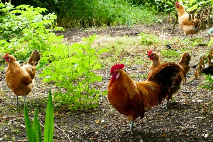 Hühner_1