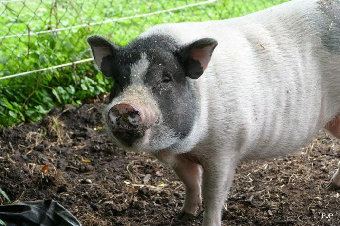 001-Piggy_5