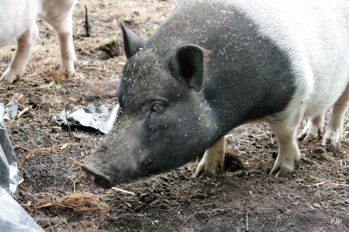 002-Piggy_4
