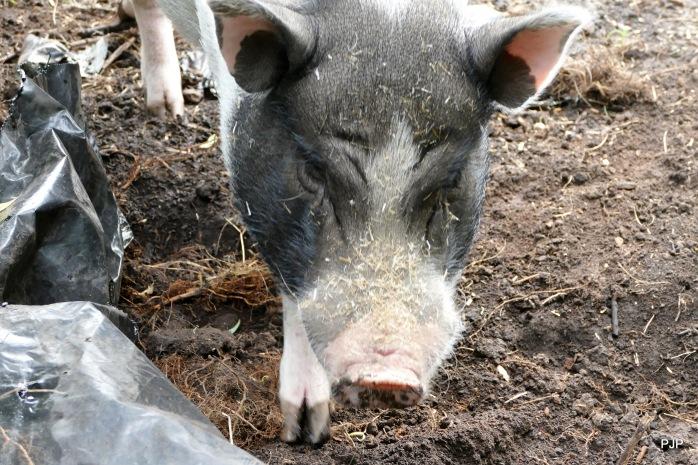 003-Piggy_6
