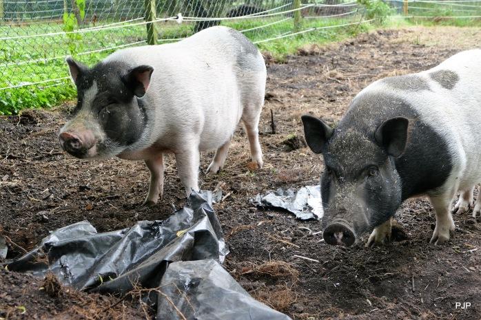 0044-Piggy_3