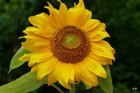21-sonnenblume
