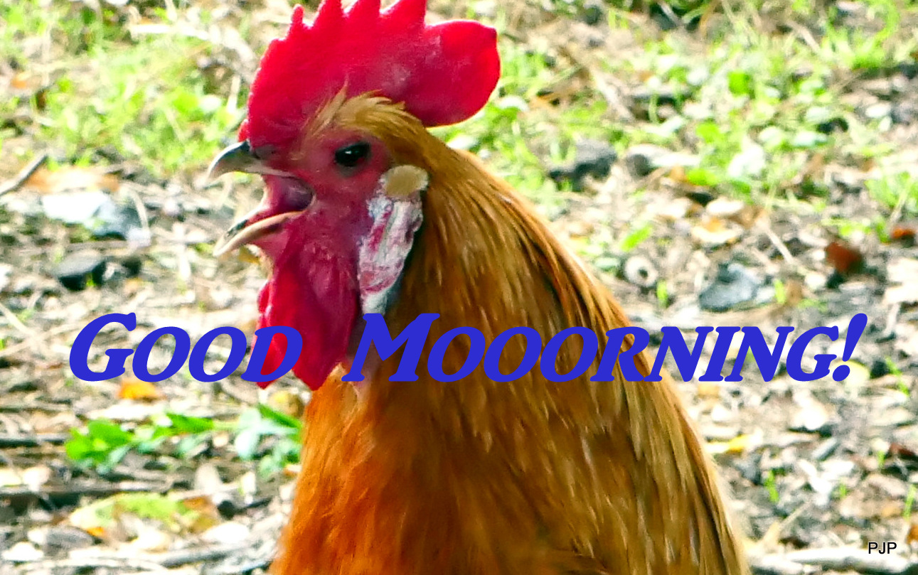 001_red rooster