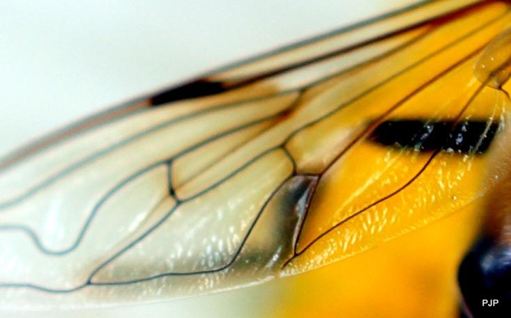 001_Insektenflügel